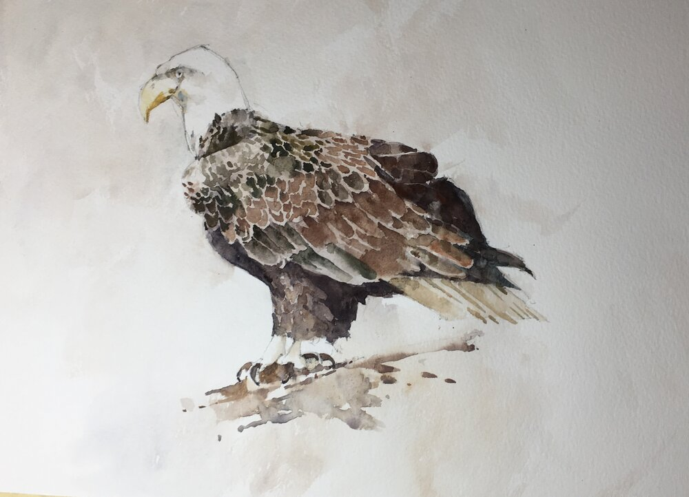 "Bald Eagle. Michele Clamp. Watercolor. 11""x14"""