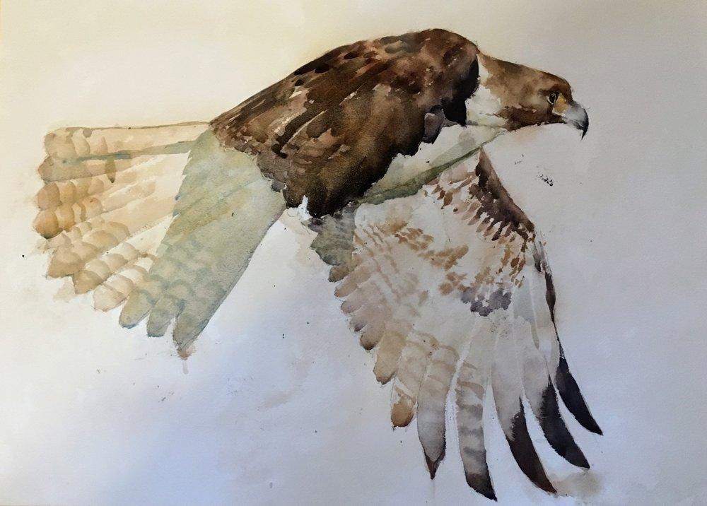 """Hawk. Michele Clamp. Watercolor 16""""x20"""""""