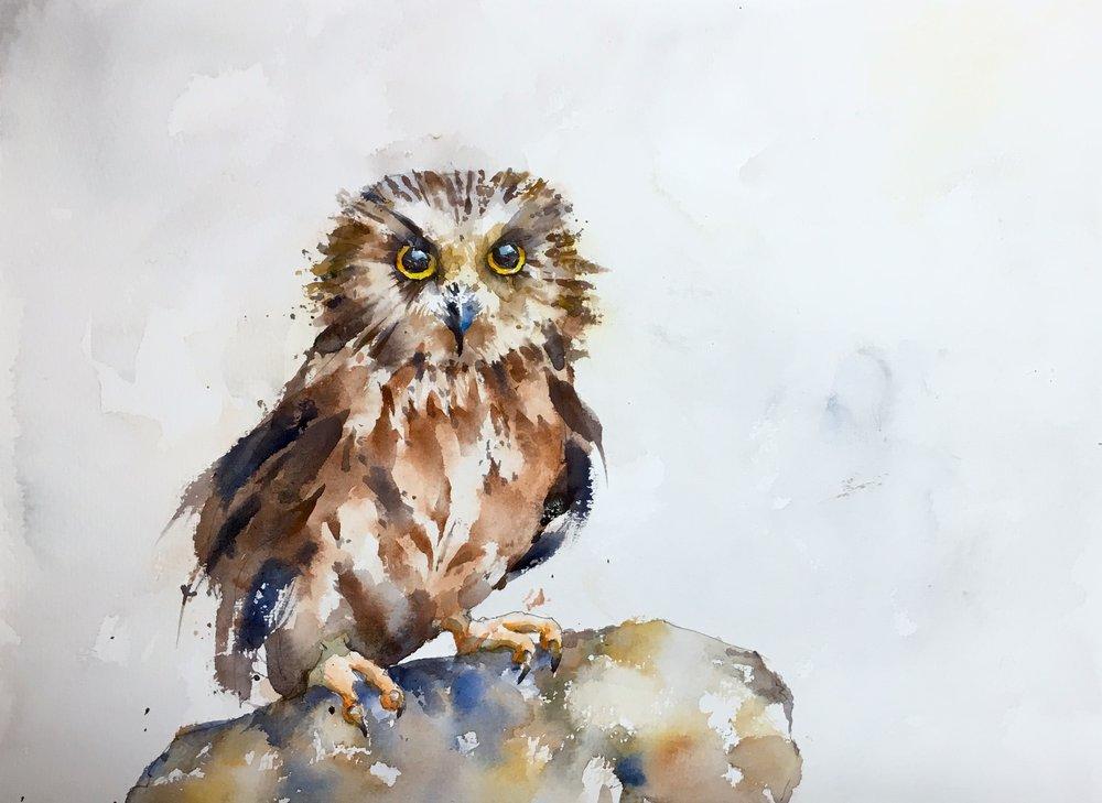 Saw-Whet Owl on Rock
